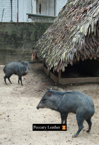 Peccaries In The Hatchery