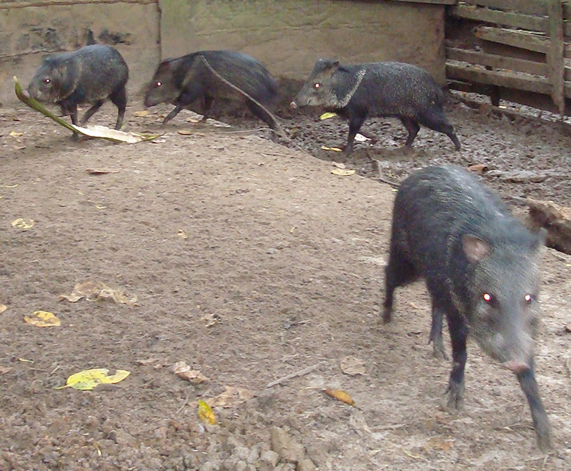 Peccary wild hog in their habitat