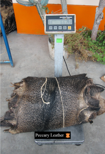 Weighing of Peccary Skins